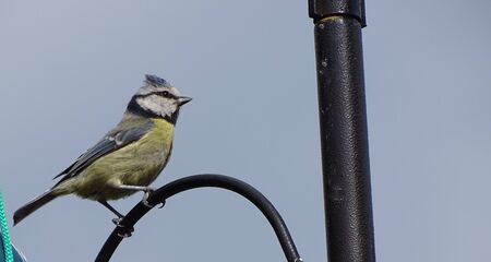 A Blue tit perched on a bird feeder.