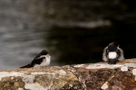 Two fledgling sand martins on the wall of a bridge