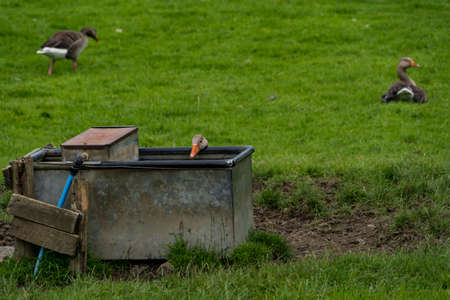 A goose trying to get a drink from a water trough in a field Imagens