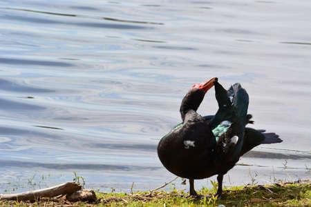 A duck next to a lake