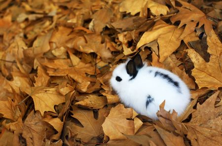 Small child rabbit sitting in autumn leaves. Image has background space for design elements.
