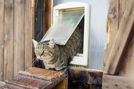 Cat escapes from a cat flap and goes outside 版權商用圖片