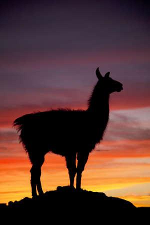 llama: Una silhouette di una lama in mezzo alla natura con un cielo colorato in background. Archivio Fotografico