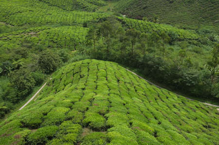 teas: Cameron Highland s tea plantation