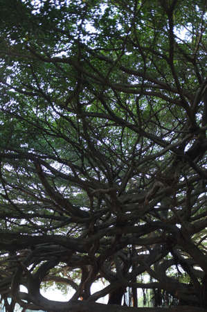 branching: a old tree branching out  Stock Photo