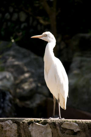 white bird: white bird standing quietly