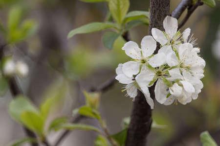 Flowering tree in spring photo