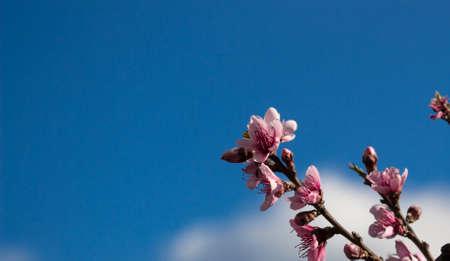 peach flowers on a blue sky photo
