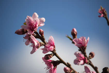 peach flowers in a strange spring photo