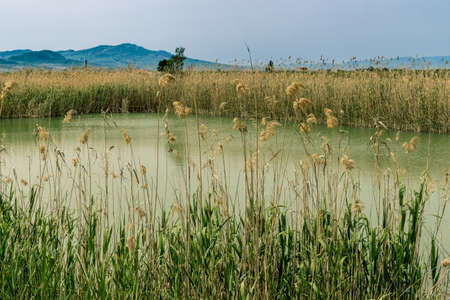 thickets: thickets of reeds on the pond