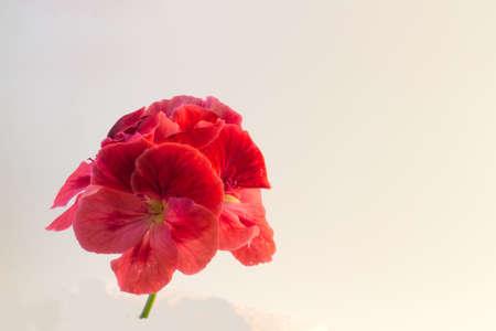 geranium color: The flower Geranium isolated on white background Stock Photo