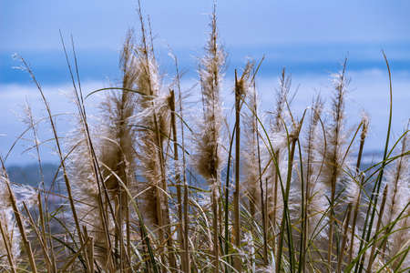 yellows: The yellows reeds on the sky in spring time. Stock Photo