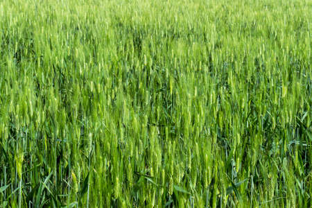 daises: the green wheat field in spring time Stock Photo