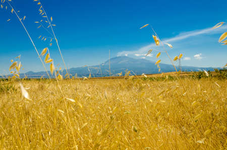 the yellow wheat field under the volcano Stock Photo