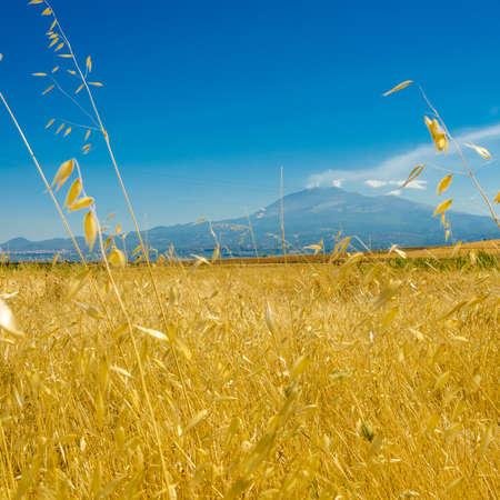 daises: the yellow wheat field under the volcano Stock Photo