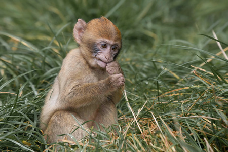 barbary ape: The Barbary macaque, Barbary ape, or magot is a species of macaque. This detailed photograph shows a six week old baby chewing on grass