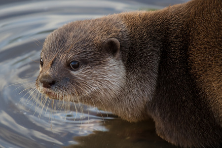 clawed: Close detailed photograph of an Asian short clawed otter at waters edge turning to look at camera