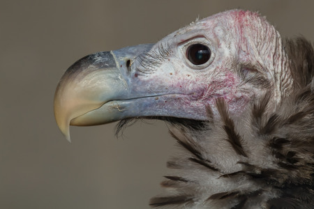 faced: close up profile portrait of a lappet-faced vulture against a plain background showing huge beak, eye and feather detail.