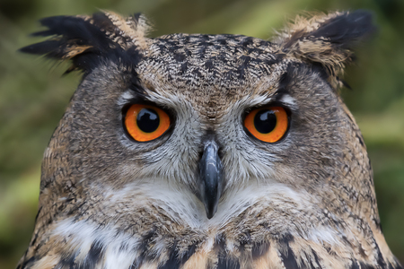 Close up and detailed photograph of a eurasian eagle owl, sometimes known as a european eagle owl. Showing orange eyes staring at the camera