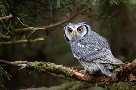 faced: The White Faced Scops Owl Stock Photo