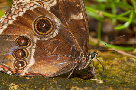 Close up photograph of a blue morpho , Morpho menelaus,  butterfly with wings folded and natural setting background