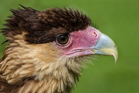 close up head portrait of a crested cara cara showing detail in feathers, beak and eye photo
