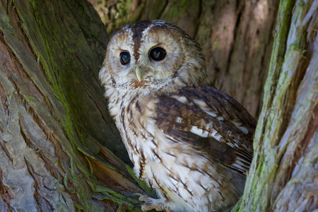 Tawny owl, Strix aluco, perched in tree and looking forward