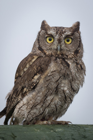 talons: close up portrait of a western screech owl Megascops perched and staring forward