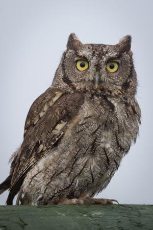 megascops: close up portrait of a western screech owl Megascops perched and staring forward
