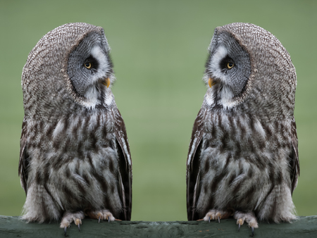 Great grey, gray owls Strix nebulosa, perched and staring facing each other against a clear background