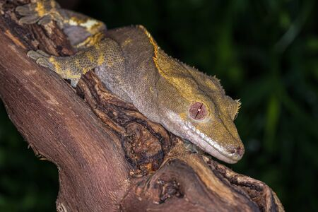 crested gecko: Close up and isolated Crested Gecko resting on a wooden branch with a natural background