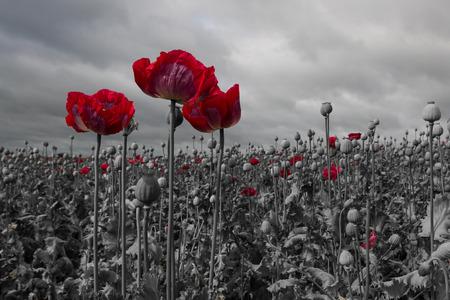 Opium poppy field. black and white with a red colour pop on the flowers.  Papaver somniferum