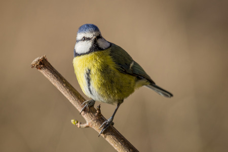 caeruleus: a blue tit Cyanistes caeruleus perched on a branch against a plain natural background Stock Photo