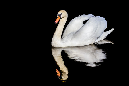 A single mute swan on water with a mirror image reflection in rippling water against a black background