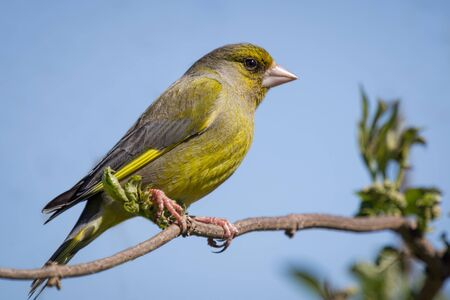 greenfinch: Greenfinch perched on a branch against a clear blue sky background and looking to the right