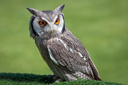 northern african: white faced scops owl bird portrait looking down to right against a natural green background