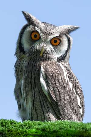white faced scops owl bird portrait looking down directly at the camera against a blue sky background