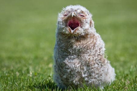 tawny owl: A young tawny owl chick with beak open waiting for food