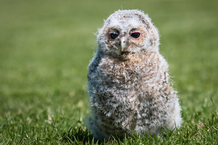 tawny owl: A young tawny owl chick 10 days old looking content