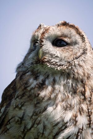 tawny owl: upright portrait of a Tawny owl looking up Stock Photo