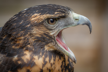 facing right: Close up head only portrait of a Chilean blue buzzard with its beak wide open facing right. Stock Photo