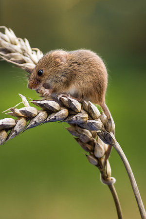 upright format: A harvest mouse on an ear of corn in upright vertical format