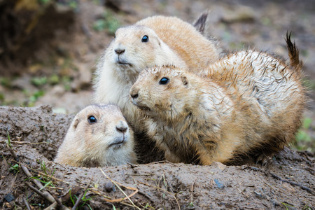 muddy: Group of three black tailed prarie dogs looking alert around a muddy wet burrow