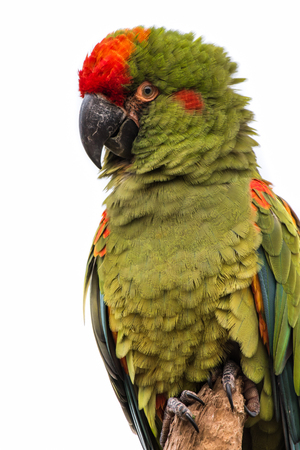green winged macaw: upright vertical three quarter portrait of a green macaw isolated against a white background