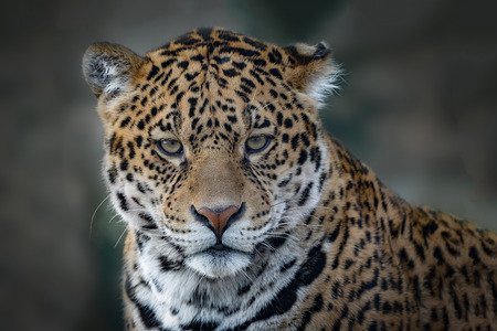 Close up head only photograph of a Jaguar big cat staring forward into the camera. Stock Photo
