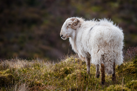 natural setting: photograph of a ram from behind looking to the left in a natural setting Stock Photo