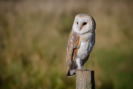 full length portrait of a solitary barn owl on a post looking to left against a natural background Stock fotó