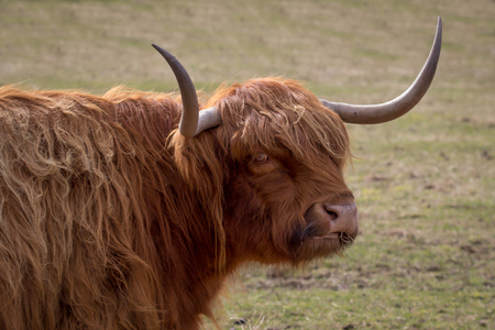 slightly: highland cattle close up head portrait with horns and detailed hair looking slightly to back