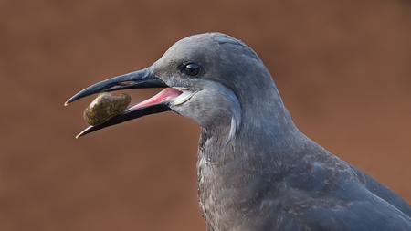 beak: Portrait close head image of a female Inca tern holding a pebble in her beak