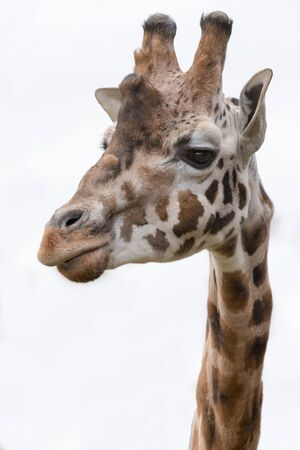 upright format: close up head portrait of a giraffe isolated against background upright vertical format Stock Photo